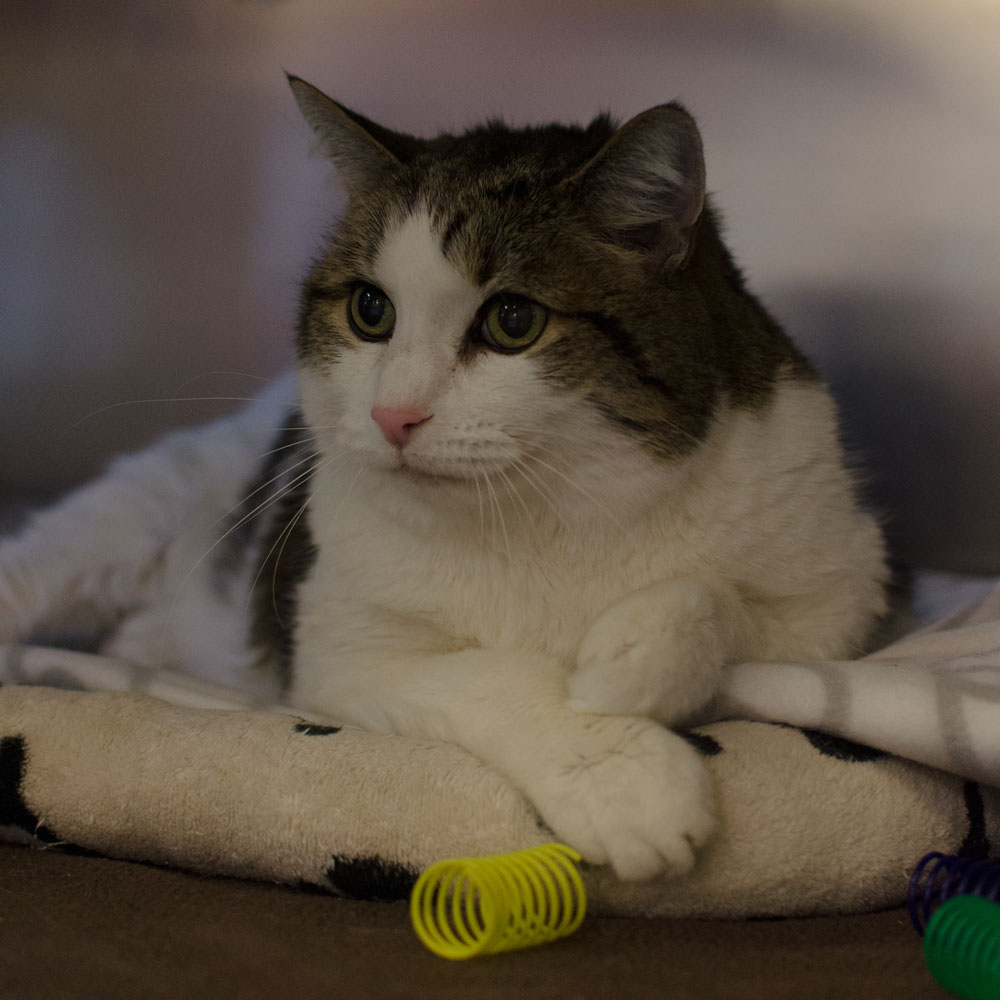 BC-SPCA VANCOUVER: JAGGER | Arbutus West Animal Clinic